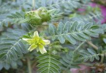 Peruwiańskie zioła lecznicze kupisz także w Polsce